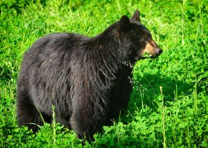Rosie the black bear.jpg