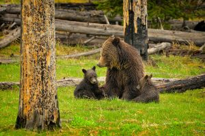 grizzly sow with cubs.jpg